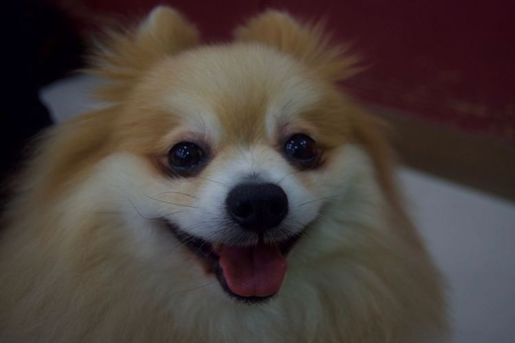 Animal Themes Close-up Day Dog Domestic Animals Indoors  Looking At Camera Mammal No People One Animal Pets Pomeranian Portrait