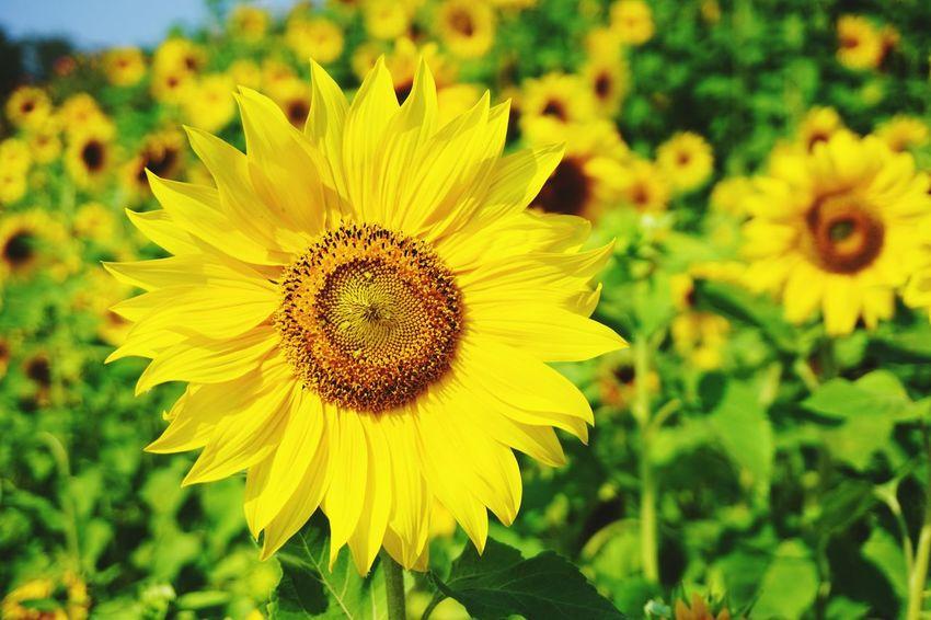 EyeEmNewHere Flower Sunflower
