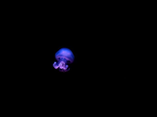 Black Background Close-up Copy Space Cut Out Dark Glowing Illuminated Indoors  Jellyfish Light Light - Natural Phenomenon Lighting Equipment Marine Motion Nature Night No People Purple Single Object Sphere Studio Shot Water