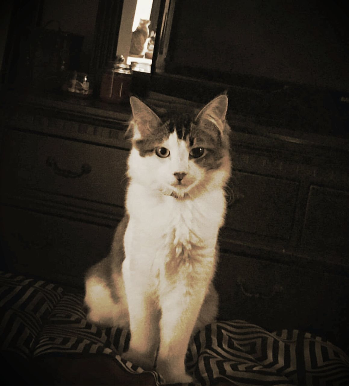 domestic cat, sitting, feline, indoors, pets, mammal, no people