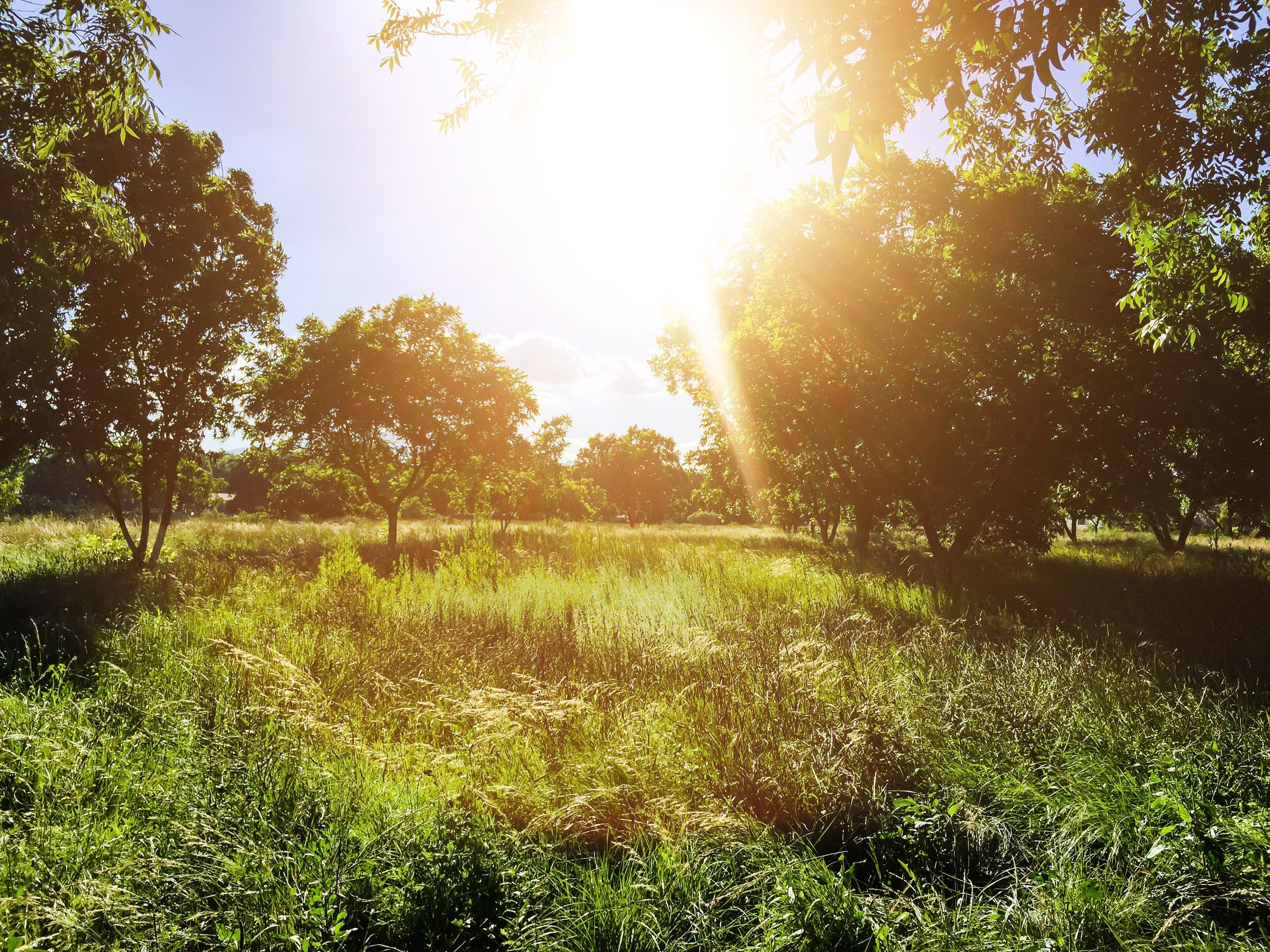 tree, grass, growth, tranquility, sunlight, tranquil scene, green color, field, beauty in nature, nature, grassy, sun, scenics, landscape, sunbeam, sky, shadow, no people, branch, clear sky