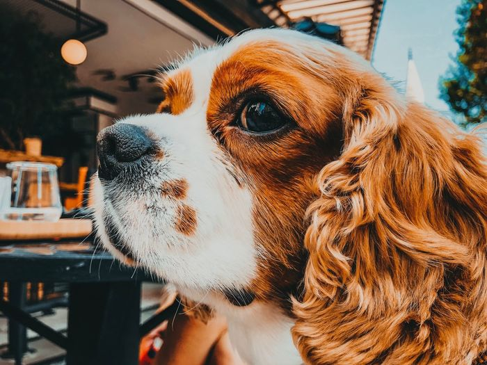 Iphonephotography Lightroom Cavalier King Charles Spaniel Mammal Animal Animal Themes No People Close-up Representation Domestic Animals Domestic Focus On Foreground One Animal Pets Animal Head  Looking Animal Body Part Animal Representation Creativity