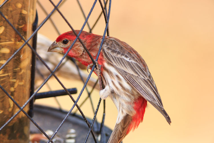 House finch at the feeder One Animal Bird Animal Wildlife No People Nature Animal Themes Bird Watching Bird Feeder Brown Bird House Finch Close-up Animals In The Wild Perching Red Bird