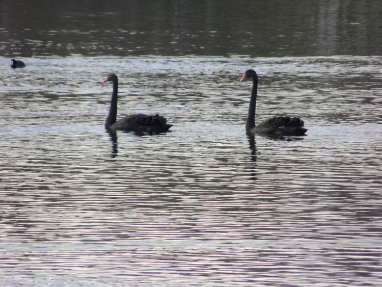 Birds at Cleasby Quarry Animal Themes Animals In The Wild Aquatic Beak Bird Black Black Color Day Escapism Getting Away From It All Hobbies No People One Animal Recreational Pursuit Side View Swan Water Water Bird Weekend Activities Wildlife
