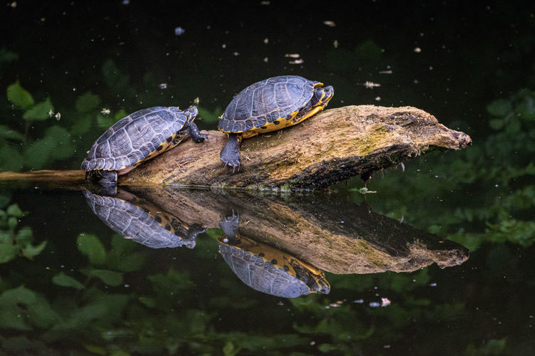 Turtles on driftwood in lake