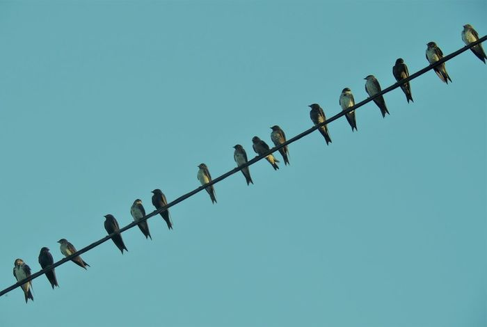Golondrinas de Verano . . . Animal Themes Animals In The Wild Bird Blue Clear Sky Copy Space Day Flock Of Birds In A Row Large Group Of Animals Low Angle View Metal No People Outdoors Perching
