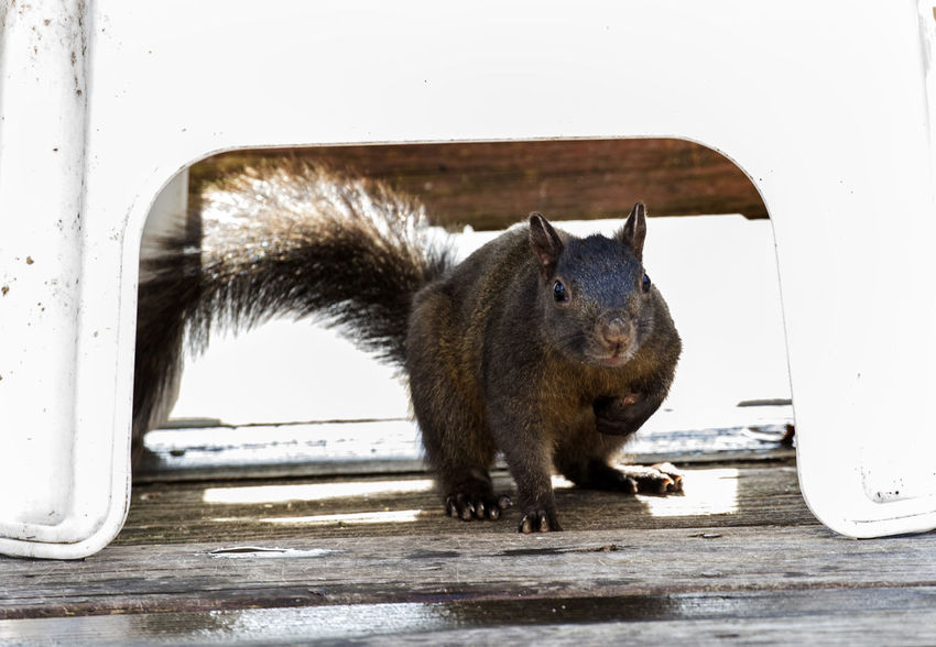 Under cover Black Squirrel Under Cover Animal Animal Head  Animal Themes Animal Wildlife Animals In The Wild Looking Mammal No People One Animal Outdoors Raining Day Rodent Taking Cover Vertebrate Whisker Wood - Material