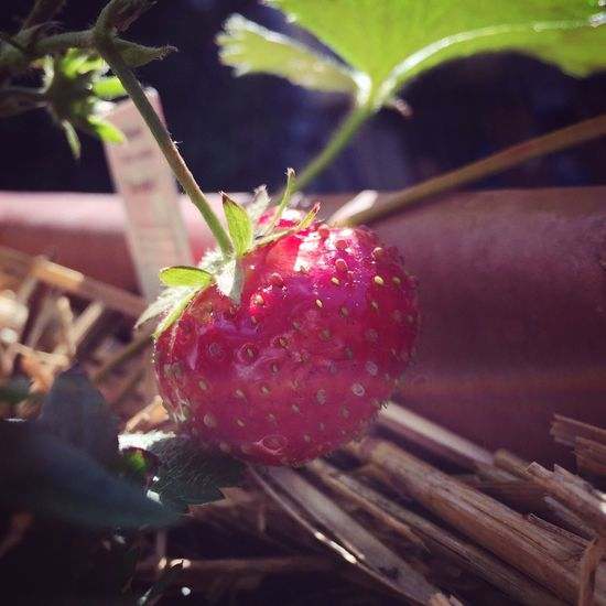 Die letzte Erdbeere. Strawberry Erdbeere Autumn Summer Berry Herbst Spätsommer  Balcony Red Healthy Freshness Fruit Growth Plant Growing