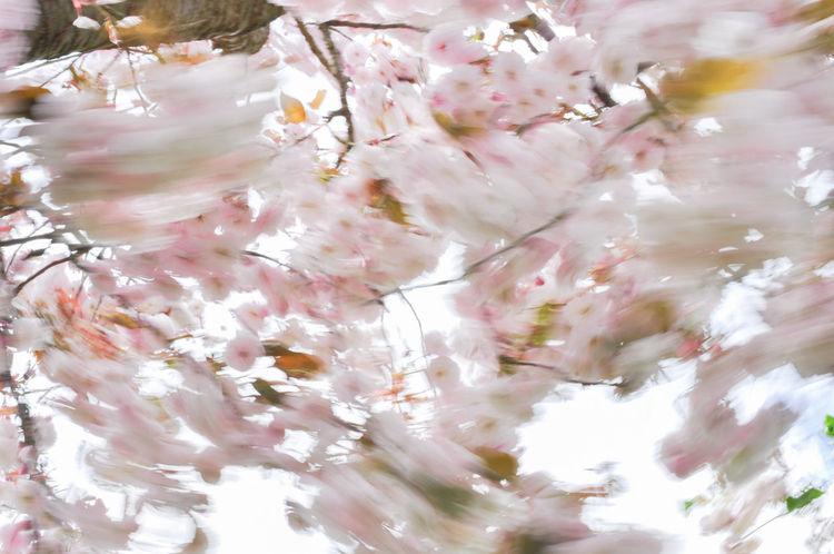 Cherry Blossoms Motion Blur Wind Blown Blossom Botany Cherry Tree Moved By Wind Prunus Serrulata Shirofugen Sakura Blossom Springtime Wind