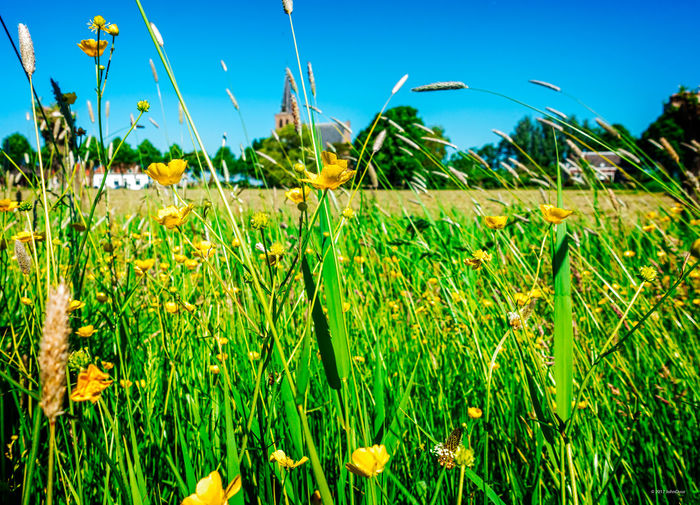 The small village 't Woudt seen thru the grass on a summer day 't Woudt Agriculture Beauty In Nature Blue Clear Sky Close-up Day Field Fragility Freshness Grass Green Color Growth Nature No People Outdoors Plant Rural Scene Scenics Sky Tranquility