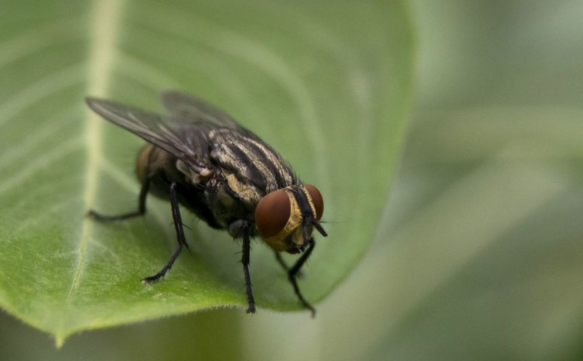 Fly Insect Animal Wildlife Animals In The Wild Close-up Outdoors