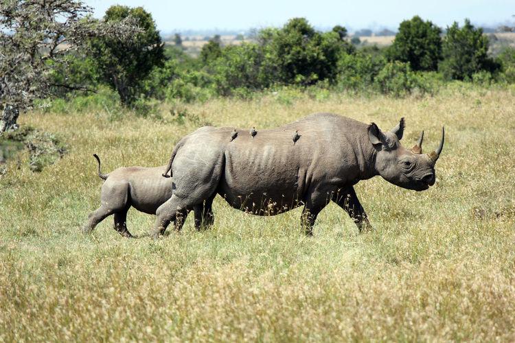 Birds Perching On Rhinoceros Walking On Field