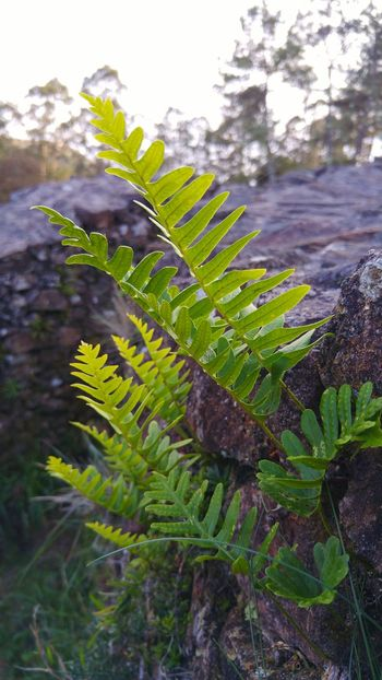 Plant Fern Nature . Helecho Helechos Plantas Nature_collection Naturaleza Roca Rock Desenfoque No People Tranquility Tranquil Scene