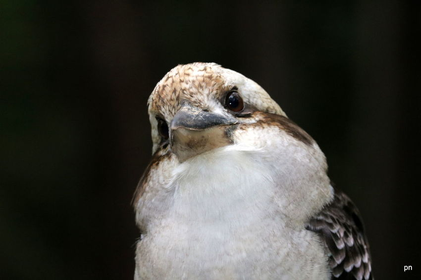 Animal Body Part Animal Head  Australia Beak Beauty In Nature Bird Bird Of Prey Birds Close-up Dandenong Ranges Day Feather  Focus On Foreground Kookaburra Nature No People Outdoors Portrait Selective Focus