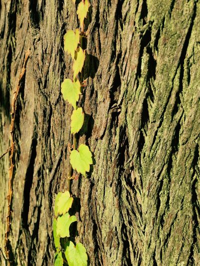 Nature's wild Full Frame Backgrounds Textured  Trunk No People Tree Trunk Rough Pattern Tree Day Nature Close-up Plant Growth Outdoors Plant Bark Wood - Material Natural Pattern Bark Sunlight