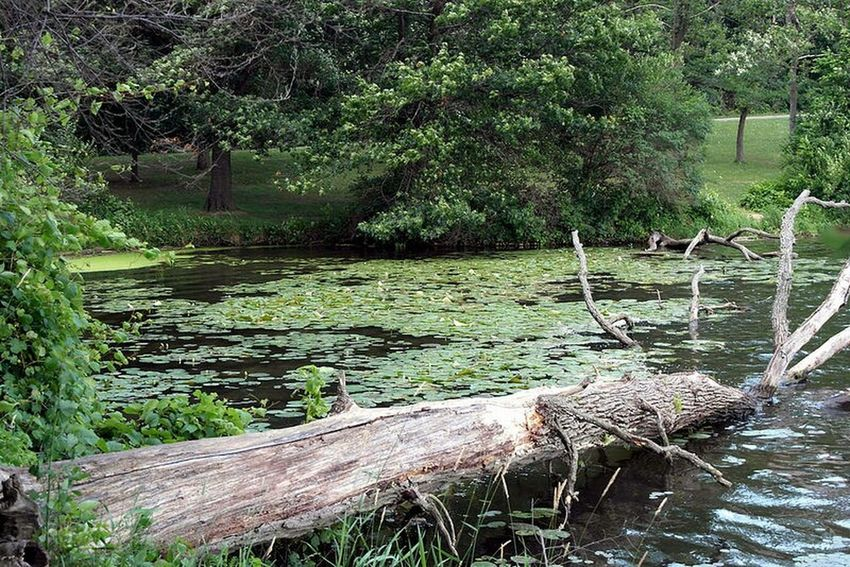 Stagnant harbor. Lake Lakeshore Tree Trunk Scum Lilypads Stagnant Water Green Greenery_scenery
