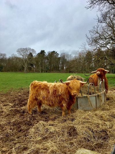 Highland cow Animal Themes Mammal Livestock Cow Herbivorous Cattle Highland Cattle No People Outdoors