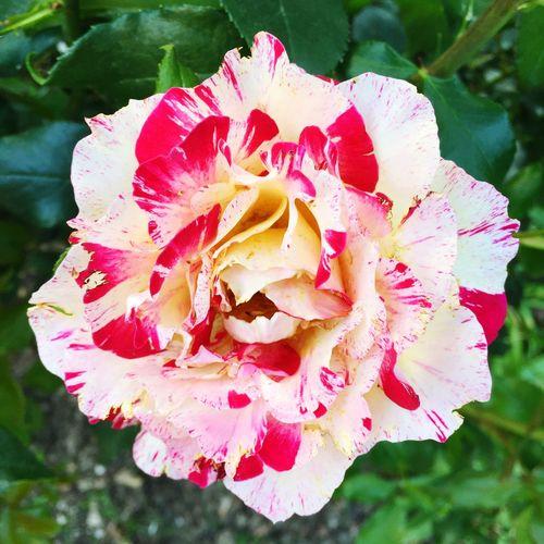 Rose «Monet»