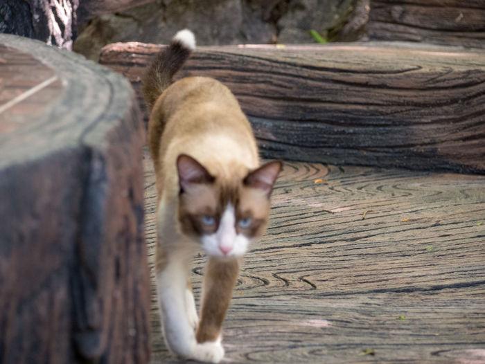 Thai cat Mammal Animal Themes Pets Animal Wood - Material Domestic Animals Domestic Domestic Cat Feline Cat One Animal Vertebrate Tree No People Day Wood Whisker Log Selective Focus Tree Trunk Animal Head