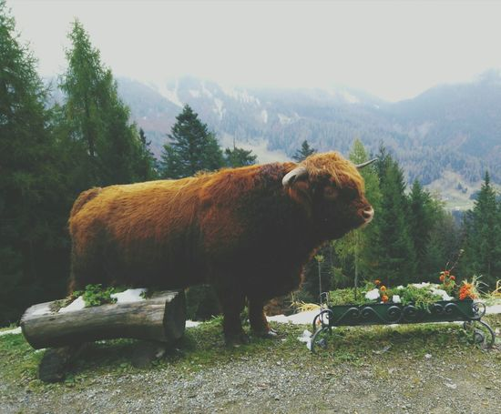 Bull Pets Mountain Sauris