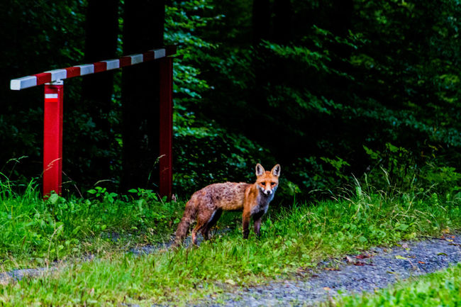 Beestigebeestjes Fox Animal Nature Naturephotography Beautiful Pretty Photo Photography Love Me All_shots Canon