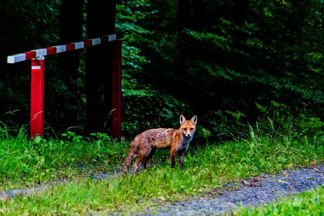 Beestigebeestjes Fox Animal Nature Naturephotography Beautiful Pretty Photo Photography Love Me All_shots Canon