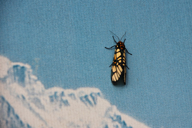 Moth On Blue Wall