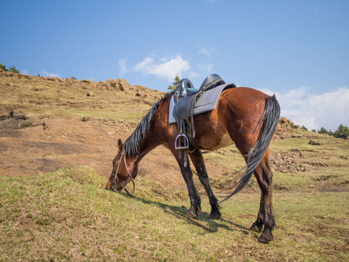 Basotho horse grazing on field against sky, lesotho, africa