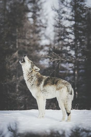 """""""Love you to the moon and back."""" Wolfsoul Lovewolf Relaxing Howl Enjoying Life Hello World"""