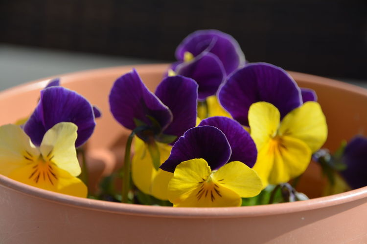 Close-up of yellow and purple flowers in pot