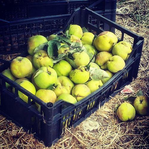 Melecotogne Rosacee Fruit