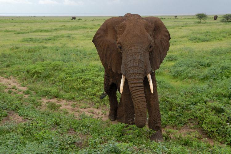Elephant in a meadow
