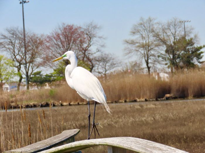 Great egret perched on a wooden fence at the preserve focus on the foreground beauty in nature birds of EyeEm animal themes outdoors Animal Wildlife One Animal White Color No People