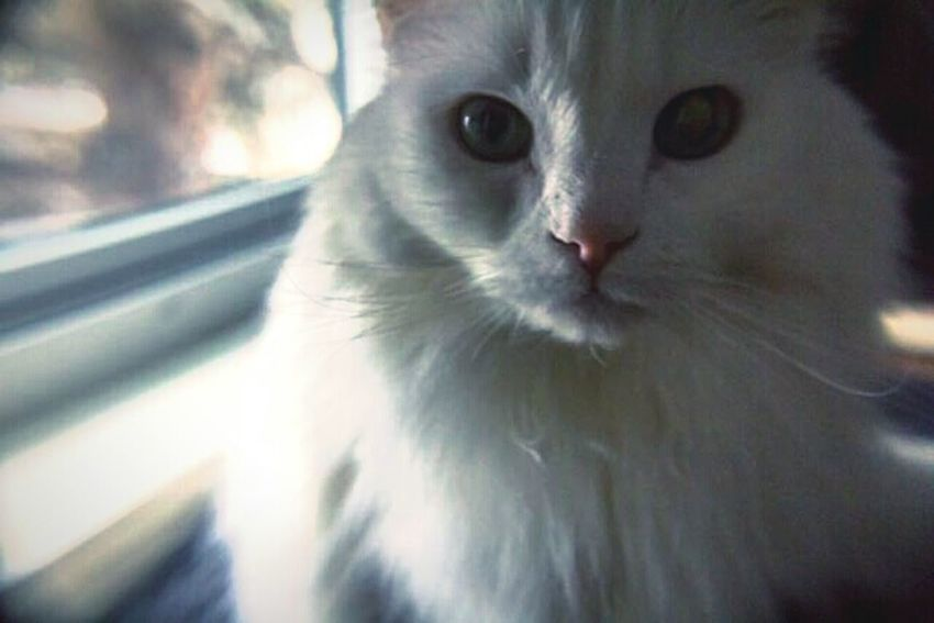 """Charmed life"" (2016) Animal Photography Feline Portraits Fluffy Cat White Cat Sunbathing Cat"