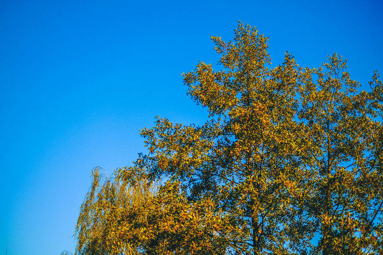 Autumn FUJIFILM X-T10 Taking Photos Beauty In Nature Blue Branch Clear Sky Day Fiujifilm Freshness Fuji Growth Low Angle View Nature No People Outdoors Sky Tranquility Tree Wasiak