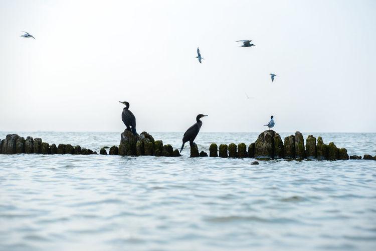 Pygmy cormorants sitting on an old wooden breakwater against clear sky