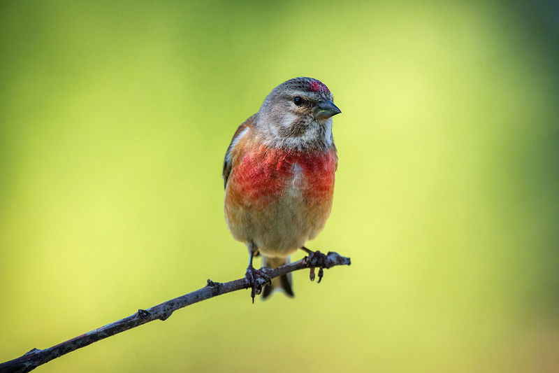 Linaria Cannabina Common Linnet Linnet Linaria Bird Animal Themes Animal Vertebrate Animal Wildlife Perching One Animal Animals In The Wild Day Close-up No People Nature Focus On Foreground Full Length Copy Space Red Outdoors Selective Focus Twig