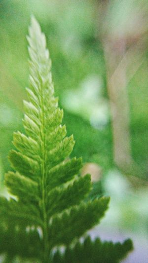 Ferns eye view...~ Tranquility Justbreathe Tiny Gardenlover Macro Loving The Landscape Color Of Life Freshness Beauty In Nature Happiness Late Summer City Garden Nature Lover No People Portland Maine Home Garden Leaf Close-up Green Color Fern Dew Frond Focus Plant Life