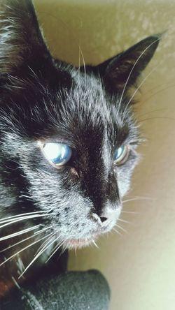 Cat Bright Eyes BlindCat Nopeople Animal Eye