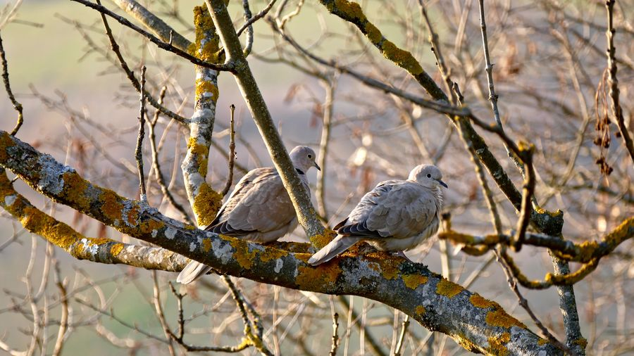 Mourning doves perching on bare tree