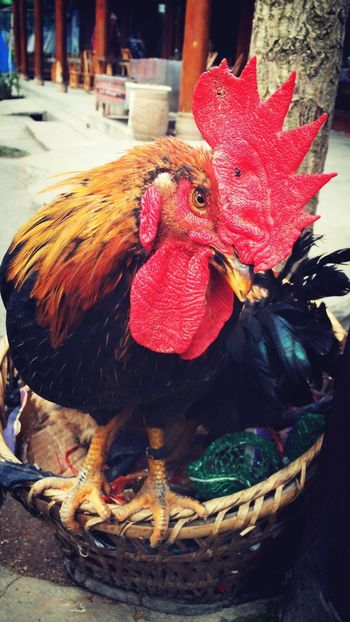 凶 Cock Red Bamboo Frame Fierce Poultry Cool Eye Colour Colours