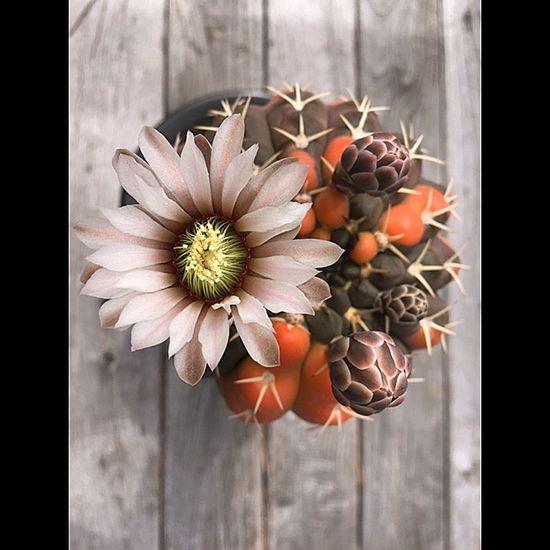 変態サボテン党 Japaneseーcactus Cactus サボテン I Love Cactus Cactus Flower Cacti Succulents