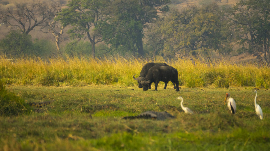 Buffalos in a field