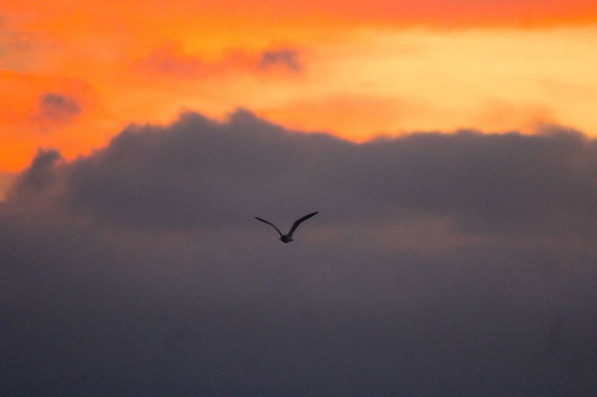 Animal Themes Animal Wildlife Animals In The Wild Beauty In Nature Bird Cloud - Sky Day Flying Mid-air Nature No People One Animal Outdoors Scenics Silhouette Sky Spread Wings Sunset EyeEmNewHere