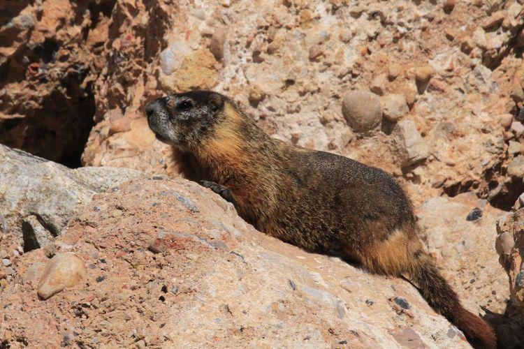 Marmot Wildlife Wildlife & Nature Wildlife Photography Marmot EyeEm Selects Sand Dune Beach Sand Desert Rock - Object Sunlight Animal Themes