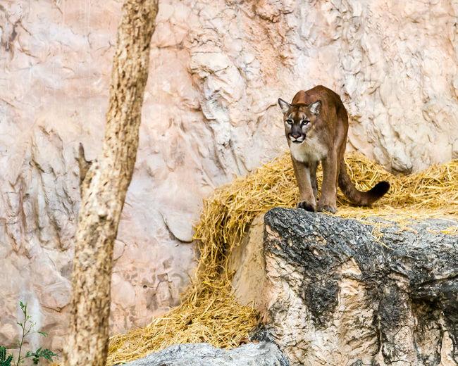 Animal Photography Animals Big Cat Chiang Mai Night Safari Puma