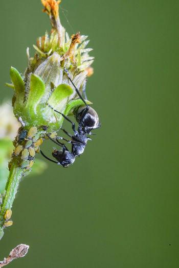 黑棘山蟻 Insect