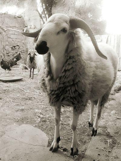 Aid mubarak for all . Animal Cheep The Last Photo