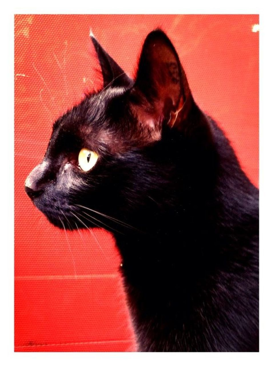 one animal, pets, domestic animals, animal themes, domestic cat, no people, indoors, mammal, red, close-up, portrait, day