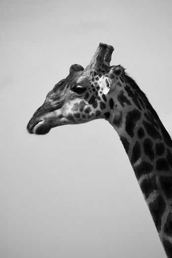 One Animal Animal Wildlife Animal Animals In The Wild Animal Themes Copy Space Animal Body Part No People Vertebrate Animal Markings Giraffe Animal Head  Animal Neck Sky Clear Sky Nature Low Angle View Side View Day Mammal